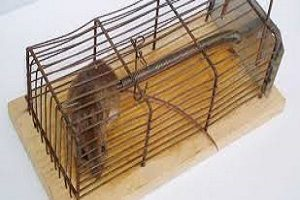 bẫy chuột hiểu quả